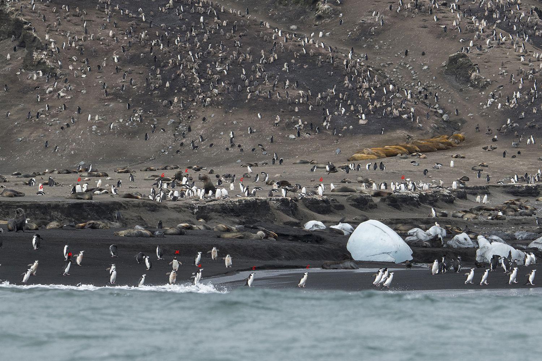Five Penguin Species Cindy Miller Hopkins
